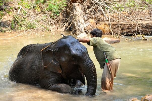 Wesoły słoń. fot. Życie w tropikach
